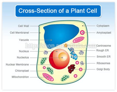 cross section of an plant cell pin plantcelljpg on pinterest