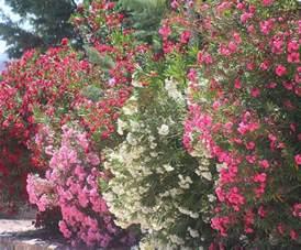Summer Flowering Shrubs Flowering Shrubs Summer Color That Beats The Heat 171 Plant