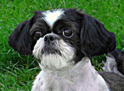 dogs that look like shih tzu shih tzu dogs that look like mine shih tzu dogs and hair cut