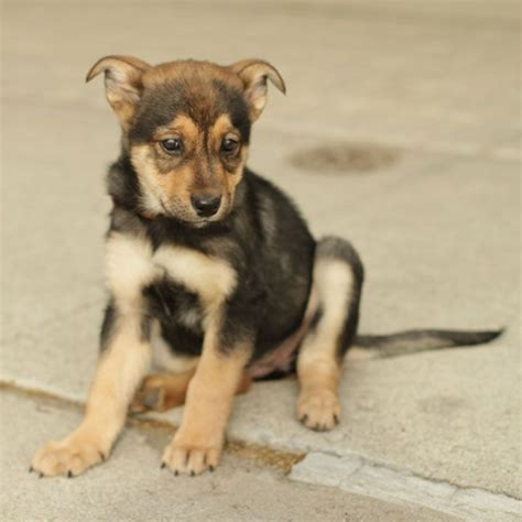 rottweiler german shepherd mix german shepherd rottweiler mix pup
