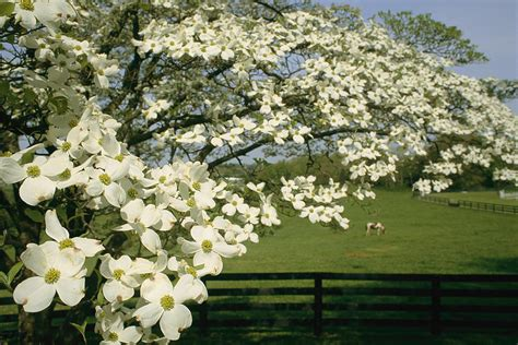 dogwood tree facts everything you need to know
