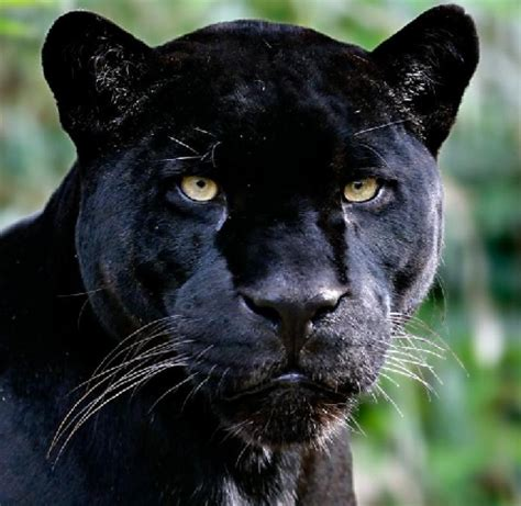 what is the scientific name of what is the scientific name of the jaguar the kasey s world of animals trivia quiz