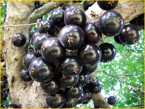Jual Bibit Buah Raksasa jual bibit tanaman buah jaboticaba 0878 55000 800 jual
