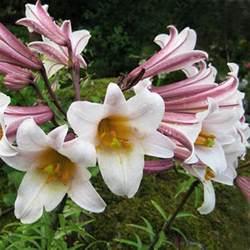 lilium regale lilium regale seeds regal