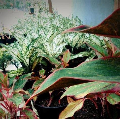 Pupuk Untuk Bunga Keladi tips memupuk tanaman hias dalam pot merawat bunga