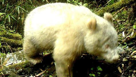 rare giant albino panda spotted  china newshub