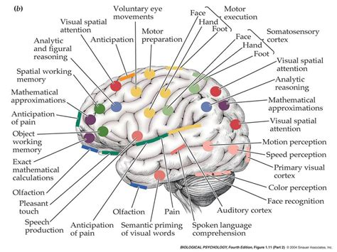 memory section of the brain taming the polar bears chapter one neuroanatomy 101