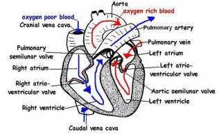 Pics photos blank heart diagram worksheet blank outline diagram