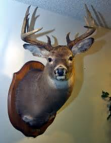 Real Deer Head Wall Mount Grignons Artistic Taxidermy