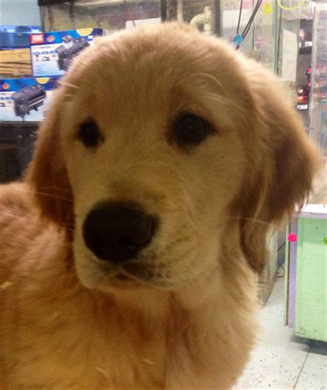 golden retriever breeders va puppies for sale in virginia pets world
