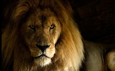 imagenes full hd de leones fondo de pantalla hd fotos de le 243 n fondos de pantalla gratis