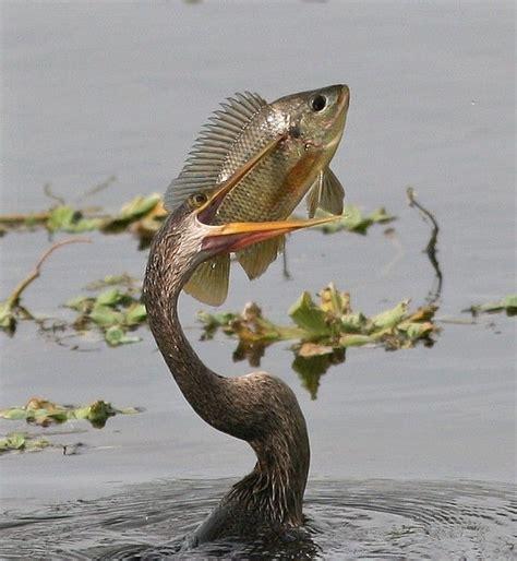 the anhinga or quot snake bird quot birds pinterest