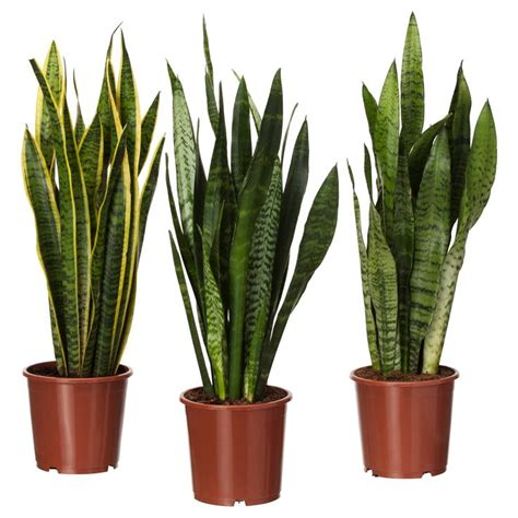 sansevieria trifasciata sansevieria trifasciata potted plant mother in law s