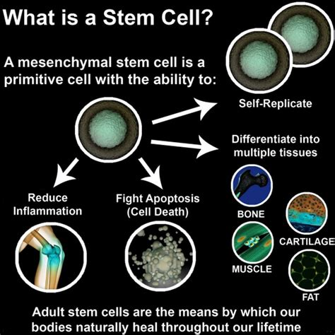 stem cells what are stem cells bing images