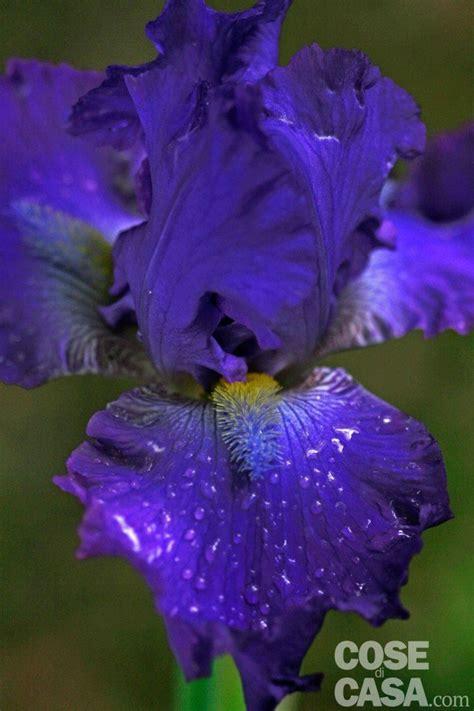 giaggiolo fiore iris germanica iris giaggiolo cose di casa