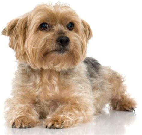 yorkshire terrier with curly hair and more stocky 20 best yorkie poo haircuts images on pinterest yorkie