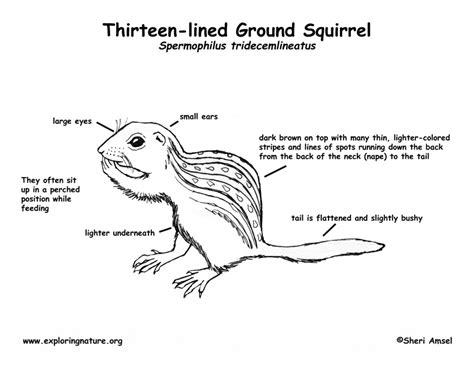 squirrel anatomy diagram ground squirrel thirteen lined labeling page