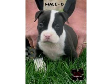 pitbull puppies for sale in nebraska american pit bull terrier puppies in nebraska