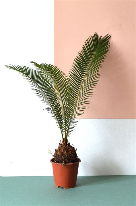 indoor palm 127 best plants on pink images on pinterest