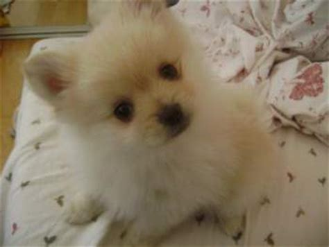 what of food do pomeranians eat can a pomeranian eat eggs snack or meal addition