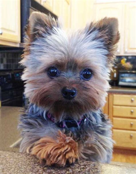 different hair cuts for toy yorkies cute yorkie haircuts different yorkshire terrier