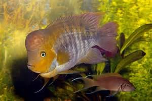 Cichlids species detailed profiles.