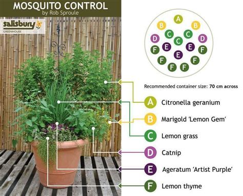 mosquito repellent planter gardening pinterest citronella plant the o jays and the back