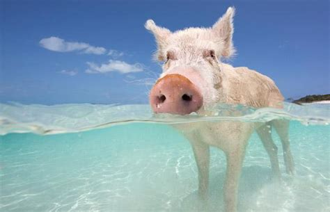 hilarious pig beach in the bahamas where pigs and humans
