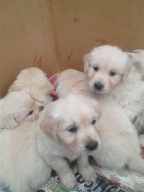 golden retriever for sale in golden retriever pups for sale fareham hshire pets4homes