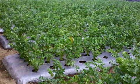 budidaya menanam seledri  batangbiji