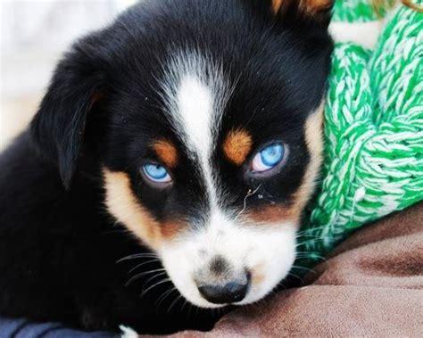 australian shepherd husky mix puppies for sale 1000 ideas about australian shepherd husky on australian shepherd puppies
