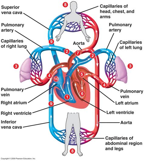 diagram with labels and blood flow blood circulation flow chart anatomy list