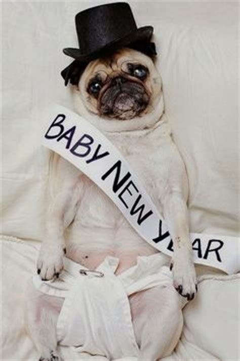 new year pug pug friendzy on pug dogs pugs and pug puppies