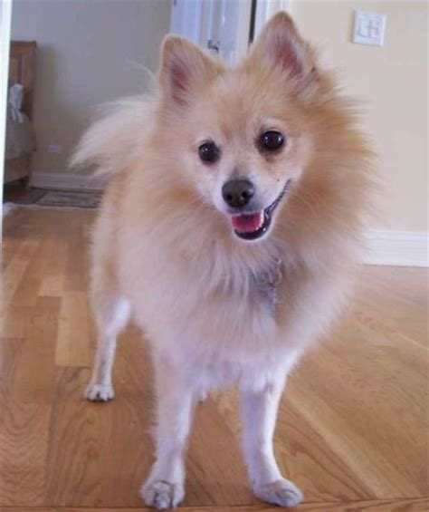 summer haircut pomeranian haircuts for pomeranian dogs newhairstylesformen2014 com
