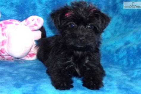 yorkie poo los angeles yorkie poo for sale los angeles breeds picture