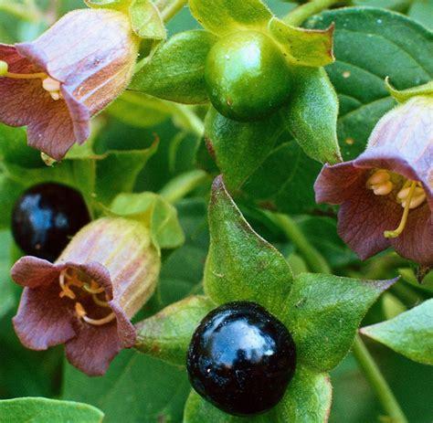 pulheimer tafel halluzinogene pflanzen im garten 28 images oleander
