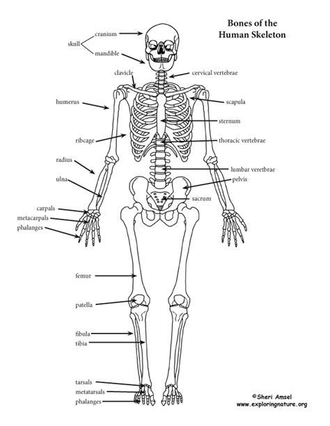 diagram of human skeleton with labels skeleton