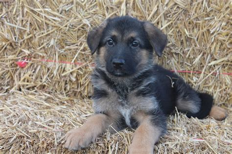 3 week german shepherd puppies 6 week german shepherd puppy newhairstylesformen2014