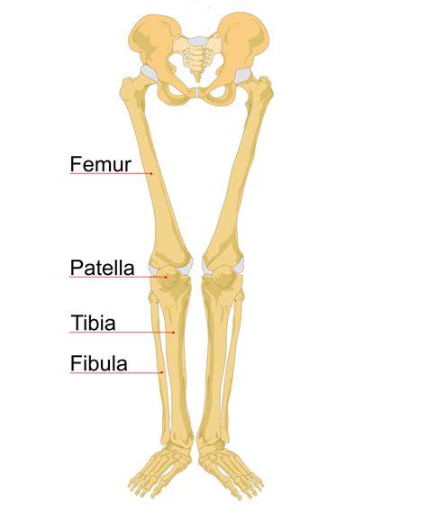 shin bone diagram leg bone