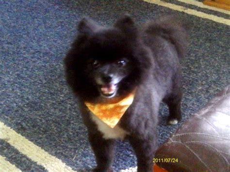 pomeranian puppies for sale santa rosa ca pomeranian black www pixshark images galleries with a bite