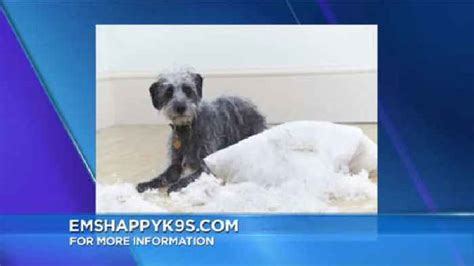 dog separation anxiety pooping in the house separation anxiety in dogs one news page video
