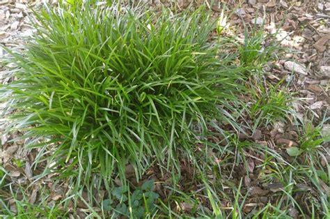 transplanting monkey grass liriope division the gardening cook