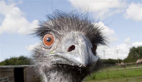 emu facts  kids fun facts  emus  children