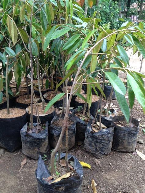 Bibit Durian Bawor Murah murah kaki 3 bibit durian musangking bawor kaki tiga