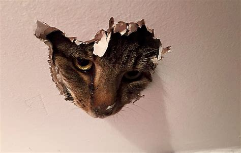 Cat In Ceiling by Catcalls His Way Into Uk Shop From The Ceiling Iheartcats
