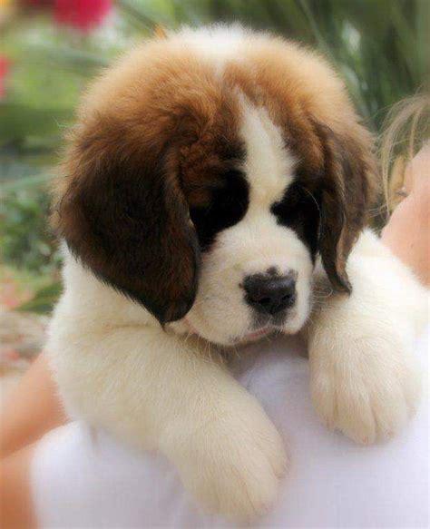 st bernard puppy best 25 bernard puppies ideas on