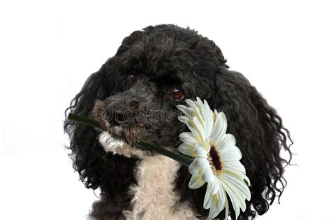 poodle wishes happy birthday stock photo image
