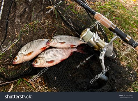 Feeder Fishing For Roach roach fish bream freshwater fish just stock photo 330305453