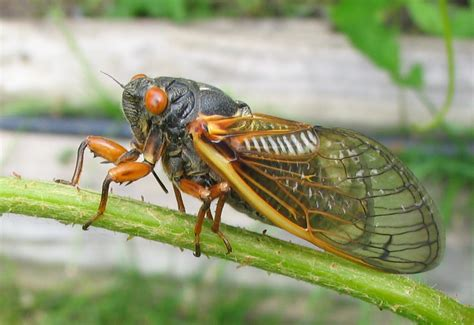 what the buzz cicadas and bird populations cornell lab
