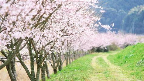 japanese cherry blossom tree cherry blossom wallpaper
